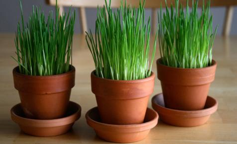 wheatgrass pots